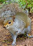 The sabre toothed squirrel pictured by Alan Jones
