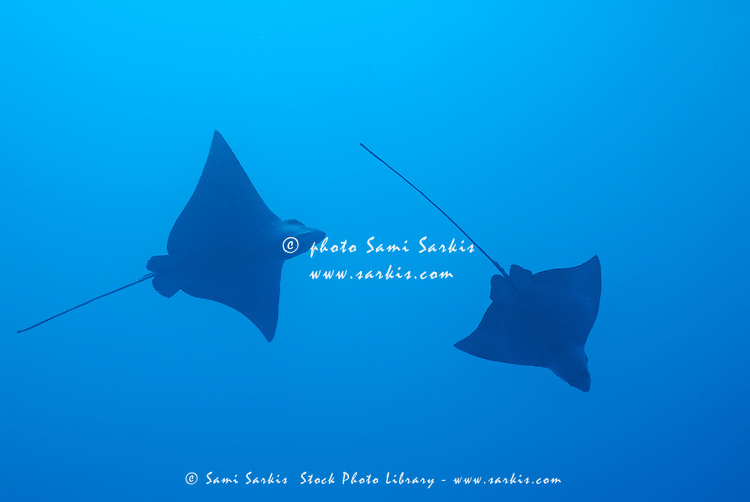 Swimming Spotted Eagle rays (Aetobatus narinari), underwater view, Wolf Island, Galapagos Islands, Ecuador
