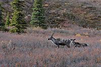 Woodland Caribou or mountain caribou (Rangifer tarandus caribou) cow and calf in subalpine area, Northern Rocky Mountains,  British Columbia.  Fall.