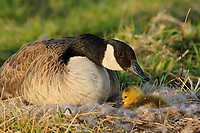 Adult Canada Goose (Branta canadensis) booding chick at nest. Tompkins County, New York. May.