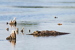 Damon, Texas; a Texas spiny softshell turtle resting on a submerged log in the lake, in late afternoon sunlight