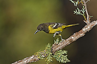 561970008 a wild juvenile male scott's oriole icterus parisorum perches on a douglas fir tee limb in madera canyon green valley arizona united states