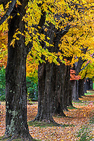 Colorful row of roadside maple trees, Vermont, USA.