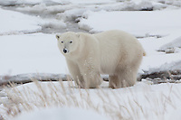 Polar Bear standing in the snow on the shore of Hudson Bay