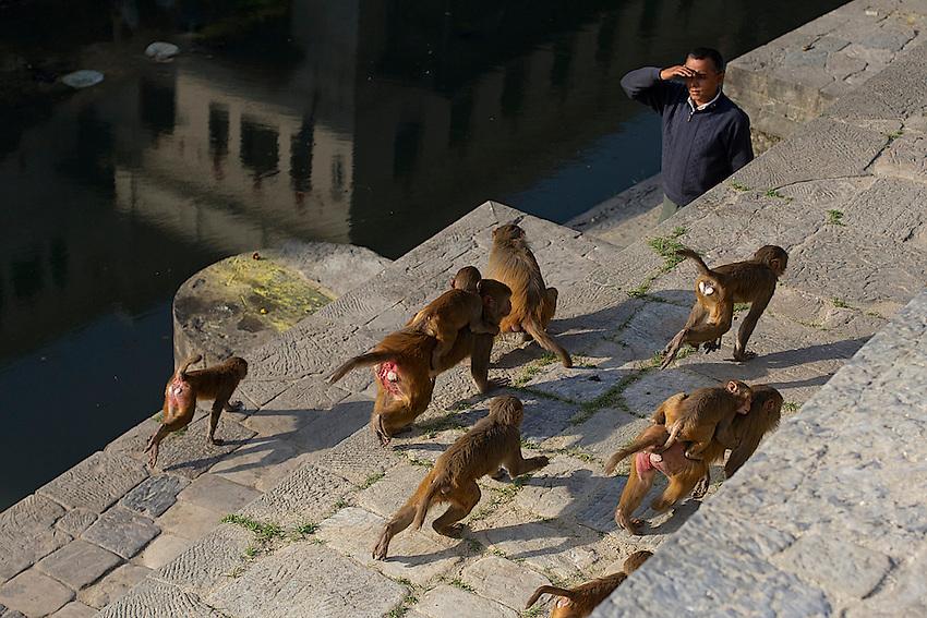 Monkeys, roaming the Pashupati Templs and cremation area Kathmandu, Nepal