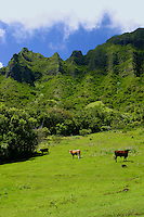 Cattle graze in the green pastures of Kualoa Ranch. Located along the eastern coastline of Oahu just past the town of Kaneohe.The ranch offers visitors a wide variety of outdoor adventures from horseback riding to jet skiing and more.