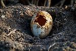 Depredated American Flamingo (Phoenicopterus ruber) egg. Yucatan, Mexico.