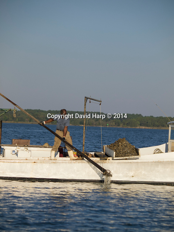 Lewis Carter uses hydraulic assistance to bring the leavy tong full of oysters onto the deck of Miss Yolanda.   On his culling board he sorts out the legal sized oysters and returns the undersizeed ones and shell to the creek.