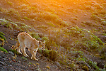 Mountain Lion (Puma concolor) six month old female kitten at sunset, Torres del Paine National Park, Patagonia, Chile