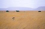 Lion, Serengeti, Tanzania, 2006.