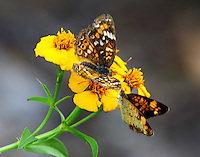 Phaon crescent and pearl crescent. The pearl crescent, the smaller of the two, seemed to be chasing the phaon.