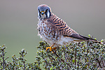 USA, California, Point Reyes National Seashore, American kestrel (Falco sparverius)