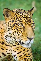 jaguar, Panthera onca, Pantanal, Brazil (c)