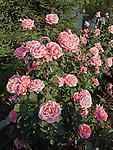 Fragrant Hour Rose bush, Rosa hybrid tea