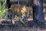 Female Bengal tiger (Panthera tigris tigris) stalking through forest. Bandhavgarh National Park, Madhya Pradesh, Central India.