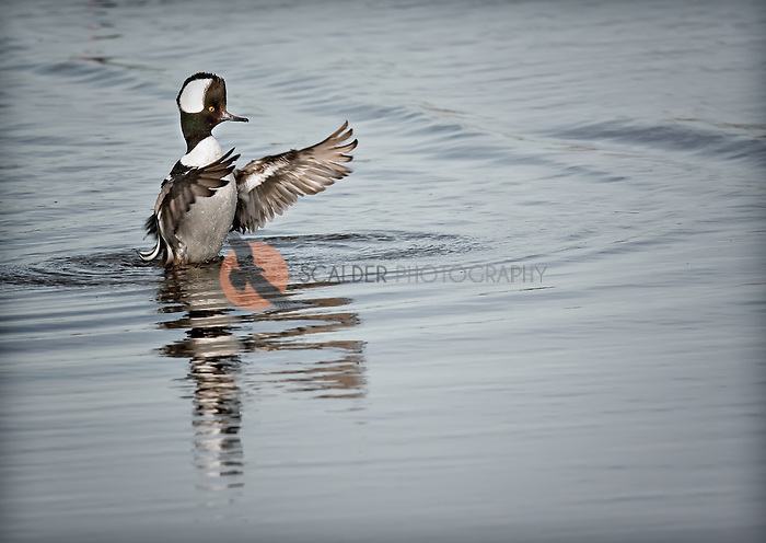 Male Hooded Merganser with crest displayed, wings flapping.