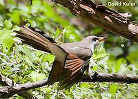 0915-0901  Yellow-billed Cuckoo, Coccyzus americanus © David Kuhn/Dwight Kuhn Photography