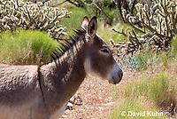 0711-1005  Wild Burro (Feral Donkey), Mojave Desert, Equus africanus asinus  © David Kuhn/Dwight Kuhn Photography