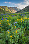San Juan Mountains, CO<br /> Wildflower meadows with sneezeweed (Dugaldia hoopesii), delphinium (Delphinium barbeyi), Colorado columbine (Aquilegia coerulea) and king's crown (Rhodiola integrifolia) from American Basin with late afternoon light