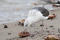 Mantelmöwe, am Strand mit erbeutetem Krebs, Krabbe, Taschenkrebs, Mantel-Möwe, Mantelmöve, Mantel-Möve, Möwe, Möve, Larus marinus, great black-backed gull