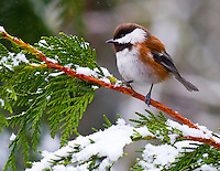 Gift card photo of a chestnut-backed chickadee (Poecile rufescens) is perched on a snow cover cedar tree branch during a Winter's day