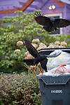 Crows Attacking Garbage Can