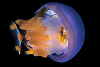 jack baby, family Carangidae, hiding in a jellyfish, Thysanostoma thysanura, for protection, Anilao, Philippines, Pacific Ocean