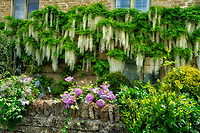 Wisteria and garden in Icomb, The Cotswols, Enngland