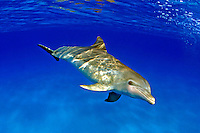 This Atlantic Bottlenose Dolphin, Tursiops truncatus, was photographed while briefly interacting with a group of Atlantic Spotted Dolphin,  Stenella plagiodon,  on the Bahamas Bank.