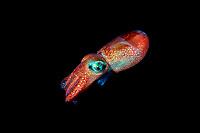 stubby squid, Rossia pacifica, British Columbia, Canada (Pacific Ocean)