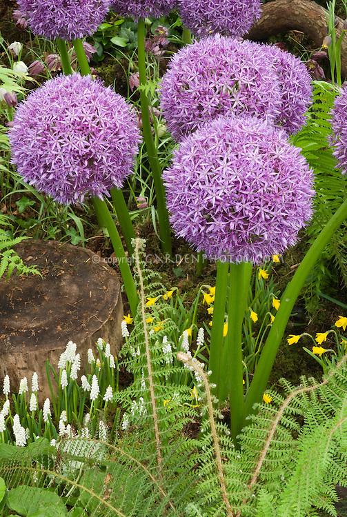 Allium 'Globe Master' ornamental onion with white grape hyacinth bulbs, fern, tiny Narcissus daffodil species, in spring bloom
