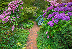 Vashon Island, Washington: Summer perennial garden with brick pathway with clematis and hydrangeas blooming