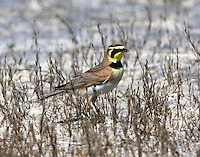 South-Texas form horned lark with insect