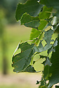 Holes in leaves of cherry tree caused by caterpillars of winter moth (Operophtera brumata), mid June.