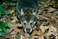 Gray wolf hybrid pup part Alaskan malamute in forest floor with old leaves and grass