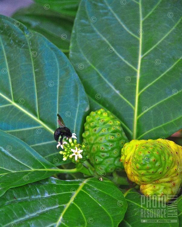 Native medicinal plant noni with black bee