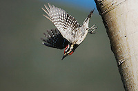 Red-naped Sapsucker, Sphyrapicus nuchalis, adult female taking off from aspen tree, Rocky Mountain National Park, Colorado, USA