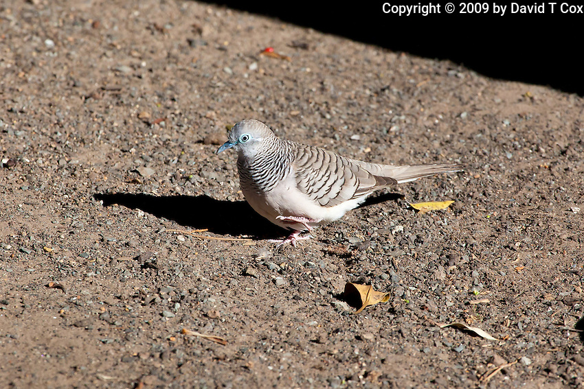 Peaceful Dove, Cape HIllsbourough NP, Queensland, Australia