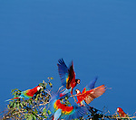 Scarlet and green-winged macaws, Peru