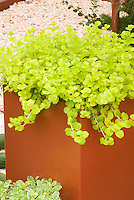 Creeping jenny Gold moneywort, groundcover Lysimachia nummularia 'Aurea' in pot container, with variegated herb basil at base, on stone patio