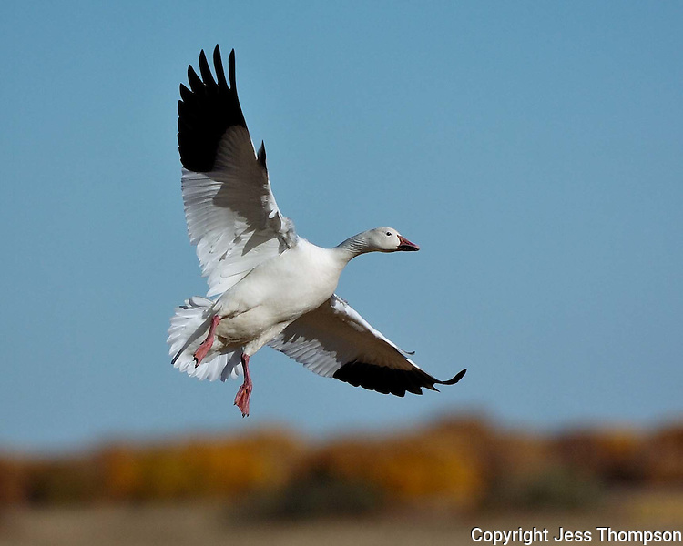 Snow Goose approaches landing at Bosque del Apache National Wildlife Refuge, New Mexico