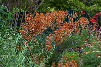 Anigozanthos 'Orange Cross' Kangaroo Paw flowering in Pollinator Garden at Gamble Garden, Palo Alto, California