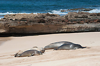 group of Hawaiian monk seals, Neomonachus schauinslandi, Critically Endangered endemic species, resting on beach at west end of Molokai, USA, Pacific Ocean; dry seal covered with sand is a 3-year-old male; the seal in front is a younger juvenile