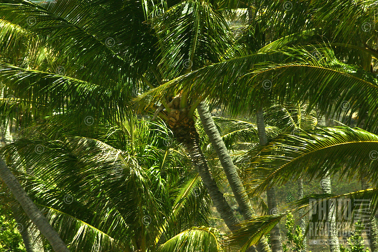 Palm trees sway in the trade-winds on the island of Oahu.