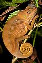 Panther Chameleon juvenile {Furcifer pardarlis}. Masoala Peninsula National Park, north east Madagascar.