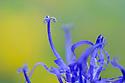 Round-headed rampion {Phyteuma orbiculare} Nordtirol, Austrian Alps, Austria, July.