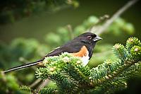 Eastern Towhee (eastern towhee (Pipilo erythrophthalmus) in Fraser fir (Abies fraseri), Roan Highlands