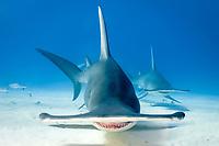 Great Hammerhead Shark, Sphyrna mokarran, South Bimini Island, Bahamas, Caribbean Sea.