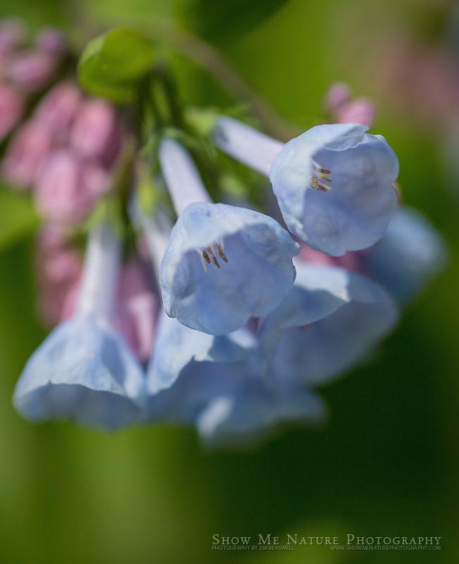 Bluebell wildflowers
