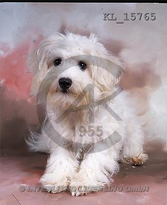 Interlitho, Alberto, ANIMALS, dogs, photos, white dog, sitting(KL15765,#A#) Hunde, perros